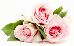 Roses Royalty Free Stock Image