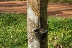 Natural rubber hevea Stock Photos
