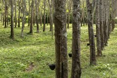 Natural rubber hevea Royalty Free Stock Images