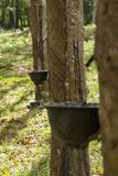 Natural rubber hevea Stock Photo