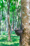 Natural rubber collecting from rubber tree Stock Photos