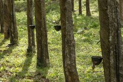 Natural rubber hevea Royalty Free Stock Photography