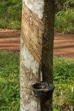 Natural rubber hevea Royalty Free Stock Photo