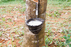 Natural rubber latex or milk dripping from rubber tree into the bowl on blurred rubber garden Royalty Free Stock Photography