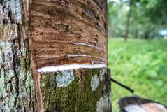 Natural rubber latex trapped from rubber tree with rubber cups f royalty free stock photo