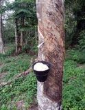 Natural rubber tree Stock Images