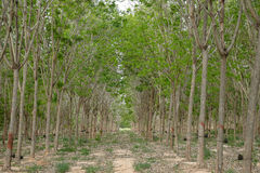 Natural Rubber tree plantation in south thailand stock photo