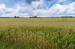 Natural rye field blue sky and clouds landscape Stock Images
