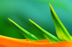 Heliconia flower close up Stock Image