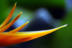 Heliconia flower close up Royalty Free Stock Image
