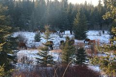 Winter fir landscapes horses royalty free stock photo
