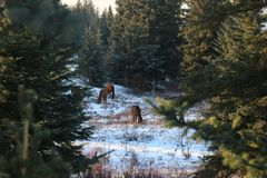 Winter fir landscapes horses royalty free stock photos