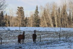 Winter snow landscapes horses. Natural and sauvage landscapes with horses Royalty Free Stock Image