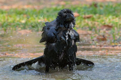 Natural scene of crow bathing in feild Stock Photography