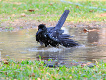 Natural scene of crow bathing in field Royalty Free Stock Photography
