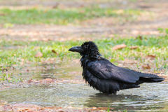 Natural scene of crow bathing in field use for natural wildlife Royalty Free Stock Photos