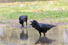 Natural scene of crow bathing in field use for wild life in natu Stock Image