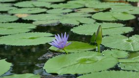 The tiny purple lotus flower and many leaves in the pond stock footage