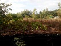 Natural scenes of betel leaf borouj in bangladesh royalty free stock images