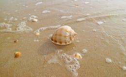 Natural Scotch Bonnet Sea Shell  on Wet Sand Beach with Sea Foam in Sunlight. Summer Holidays, alone, backwash, beautiful, brown, bubble, closeup, coast, copy stock photos