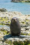 Natural Seal on sea coast. New Zealand natural marine life background Stock Image