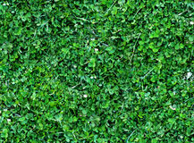 Natural Seamless background of trefoils top view. Bright green Texture of the Solitary blades of grass between Royalty Free Stock Images