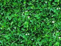 Natural Seamless background of trefoils top view. Bright green Texture of the Solitary blades of grass between a Clover leaves Stock Photo