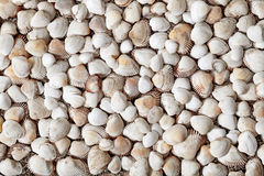 Natural Seashells Stock Image