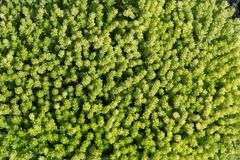 Background from succulent sedum natural ground cover green plant for floral compositi royalty free stock image