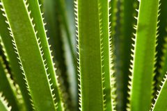 Natural self defense. Close up image of a plant showing its spiked self defense Royalty Free Stock Image