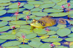 Closeup of Bull Frog on Lily Pads Stock Image