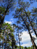 Natural setting pine trees with blue sky and white cloud backgro. Und on sunshine day, northern of Thailand Stock Photos