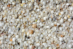 Natural shell background. White shells on the Atlantic ocean beach Royalty Free Stock Photo