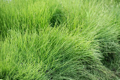 Natural short grass  background Royalty Free Stock Photos
