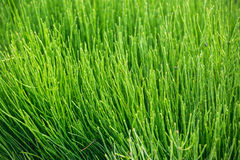 Natural short grass  background Royalty Free Stock Photo