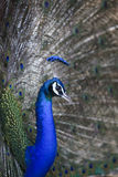 Natural shot of indian peacock with beautiful tail plumage  in j Royalty Free Stock Image