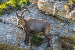 Side view portrait adult male alpine capra ibex capricorn. Natural side view portrait adult male alpine capra ibex capricorn Royalty Free Stock Photos