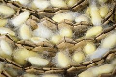 Natural silk farming and handcrafted manufacture of silk artifacts - golden silk worm chrysalis royalty free stock image