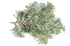 Natural small pine tree branch for decoration isolated on white. Background green plant Royalty Free Stock Images