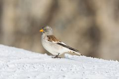 Snowfinch bird montifringilla nivalis in snow in sunshine stock photos