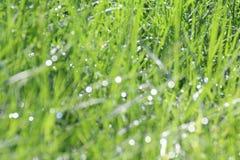 Natural soft grass background blurred Bokeh of dew, healthy green bio fresh tree, breeziness background, dew background, backgroun stock image