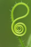 Natural spiral. Of a corgette plant Royalty Free Stock Photography