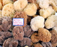 Natural sponges Stock Image
