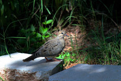 Natural spotlight on mourning dove's head. Stock Photos