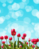Natural Spring background with tulips and bokeh effect for greet Royalty Free Stock Images