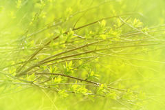 Natural spring background with young leaves on tree branches Royalty Free Stock Images