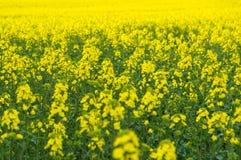 Free Natural Springtime Oilseed Rape Field Royalty Free Stock Photo - 55130235