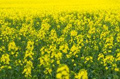 Natural springtime oilseed rape field Royalty Free Stock Photo