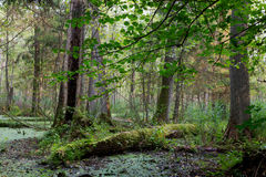 Natural stand of Bialowieza Forest with standing water. Natural alder-carr stand of Bialowieza Forest with standing water and Common Duckweed on surface among Stock Photo