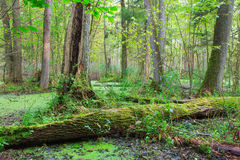 Natural stand of Bialowieza Forest with standing water. Natural alder-carr stand of Bialowieza Forest with standing water and Common Duckweed on surface among Stock Photography